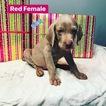 Weimaraner Puppy For Sale in JEFFERSON CITY, TN, USA