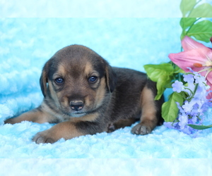 Beagle-Norwegian Elkhound Mix Dog for Adoption in SHILOH, Ohio USA