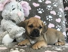 Puggle Puppy For Sale in CLEMENTS, MD, USA