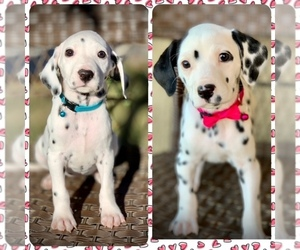 Dalmatian Puppy for sale in OAK HILLS, CA, USA