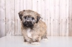 Havanese Puppy For Sale in MOUNT VERNON, OH,