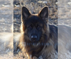 German Shepherd Dog Puppy for Sale in CREIGHTON, South Dakota USA