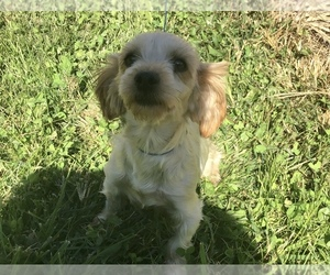 Mother of the Poodle (Toy)-Yorkshire Terrier Mix puppies born on 10/01/2020
