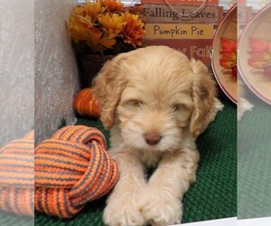 Cock-A-Poo Puppy for sale in CASSVILLE, MO, USA