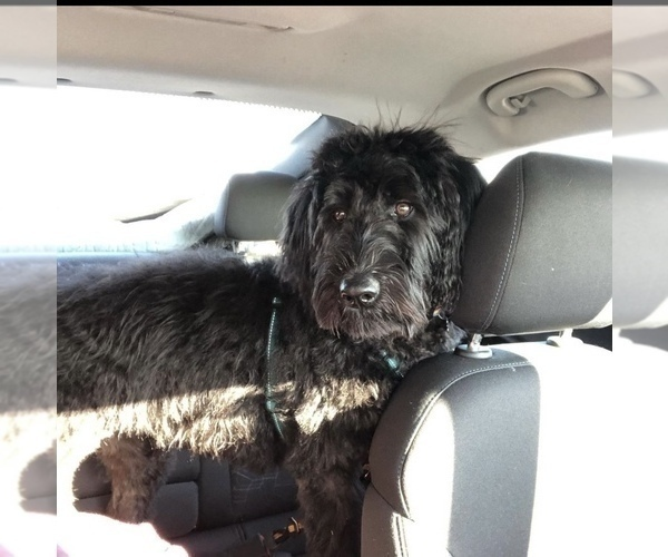 Medium Photo #6 Labradoodle Puppy For Sale in PAW PAW, MI, USA