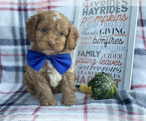 Cocker Spaniel-Poodle (Miniature) Mix Puppy for sale in CEDAR LANE, PA, USA