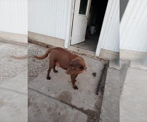 Mother of the Labrador Retriever puppies born on 12/01/2020