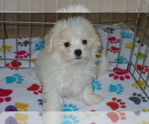 Shih-Poo-ShihPoo Mix Puppy for sale in ORO VALLEY, AZ, USA