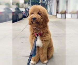 Goldendoodle Puppy for Sale in LOS ALAMITOS, California USA