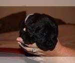 Puppy 3 Newfoundland