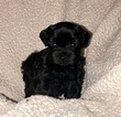 Schnauzer (Miniature) Puppy For Sale in CHETEK, WI,