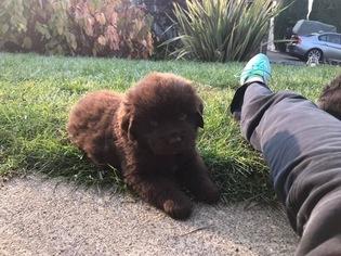 Newfoundland Puppy for sale in ROCKLIN, CA, USA