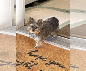Yorkshire Terrier Puppy for Sale in FORT MOHAVE, Arizona USA