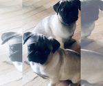 Image preview for Ad Listing. Nickname: Pug Puppies