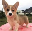 Pembroke Welsh Corgi Available To See In Person