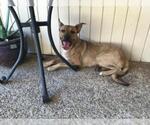 Small Photo #560 Collie-Dogue de Bordeaux Mix Puppy For Sale in Dallas, TX, USA