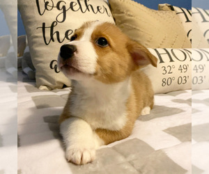 Pembroke Welsh Corgi Puppy for Sale in CHARLESTON, South Carolina USA