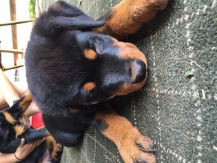 Rottweiler Puppy For Sale in STAFFORD SPRINGS, CT