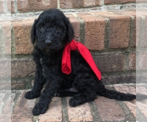 Goldendoodle-Poodle (Standard) Mix Puppy for sale in MORGANTOWN, KY, USA