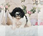 Puppy 9 Schnoodle (Miniature)
