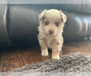 Miniature Australian Shepherd Puppy for sale in BLACK FOREST, CO, USA