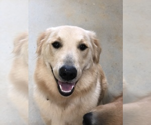 Mother of the Golden Retriever puppies born on 10/13/2020