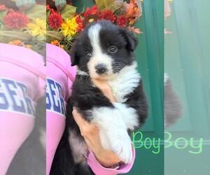 Border-Aussie Dogs for adoption in RICHMOND, MI, USA