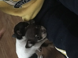 Chihuahua Puppy For Sale in FLINT, MI