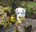 Dalmatian Puppy For Sale in CLARKSVILLE, TN, USA