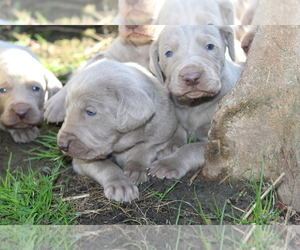 Weimaraner Puppy for Sale in HEMLOCK, Michigan USA