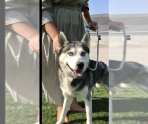 Father of the Siberian Husky puppies born on 12/11/2020