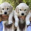 Golden Retriever Puppy For Sale in HEALDSBURG, California,