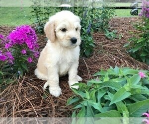 Goldendoodle Puppy for sale in CHARLOTTE, NC, USA