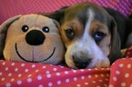 Small Photo #1 Beagle Puppy For Sale in REASNOR, IA, USA