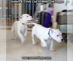 Small Photo #108 Dogo Argentino Puppy For Sale in PINEVILLE, MO, USA