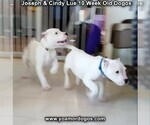 Small Photo #109 Dogo Argentino Puppy For Sale in PINEVILLE, MO, USA