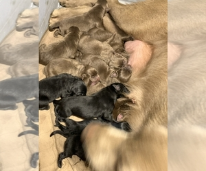 Labrador Retriever Puppy for sale in DEL ROSA, CA, USA