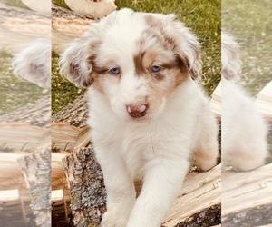 Australian Shepherd Puppy for sale in PINE CITY, MN, USA