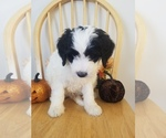 Small #1 Bernedoodle-Goldendoodle Mix