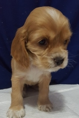 Cocker Spaniel Puppy For Sale in SPRINGFIELD, MA