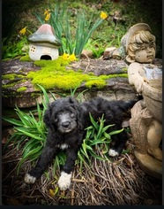 Goldendoodle Puppy For Sale in VONORE, TN, USA