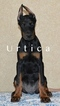 Direct Import Euro Doberman Female Puppy