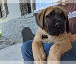 Puppy 4 Mastador-Mastiff Mix