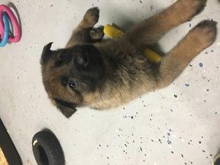 German Shepherd Dog Puppy for sale in JACKSONVILLE, FL, USA