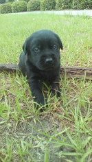Labrador Retriever Puppy For Sale in SANDERSON, FL
