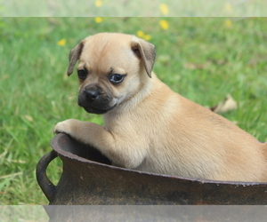 Puggat Puppy for Sale in MEHERRIN, Virginia USA