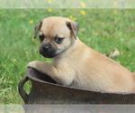 Puppy 1 Puggat