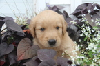 Golden Retriever Puppy For Sale in MEDIAPOLIS, IA, USA