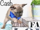 French Bulldog Puppy For Sale in GRAND JUNCTION, CO, USA