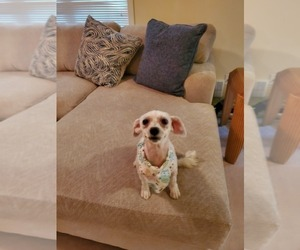 Maltipoo Puppy for sale in CARY, NC, USA